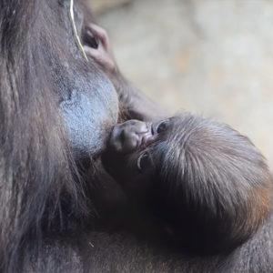 April 2019. The baby gorilla born in BIOPARC Valencia is one week old and is male