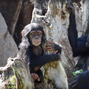 COCO the baby chimpanzee in BIOPARC VALENCIA turns 10 months old.